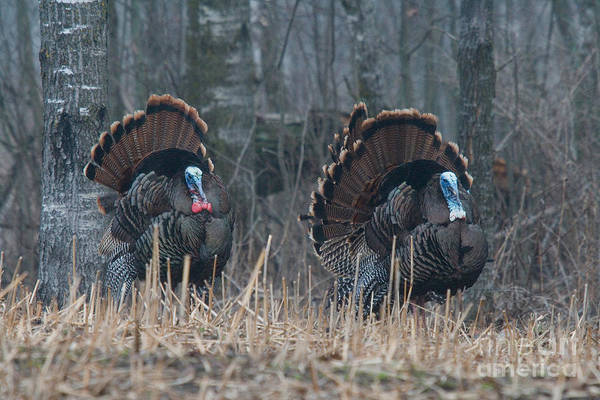 Eastern Wild Turkey Print featuring the photograph Jake Eastern Wild Turkeys by Linda Freshwaters Arndt