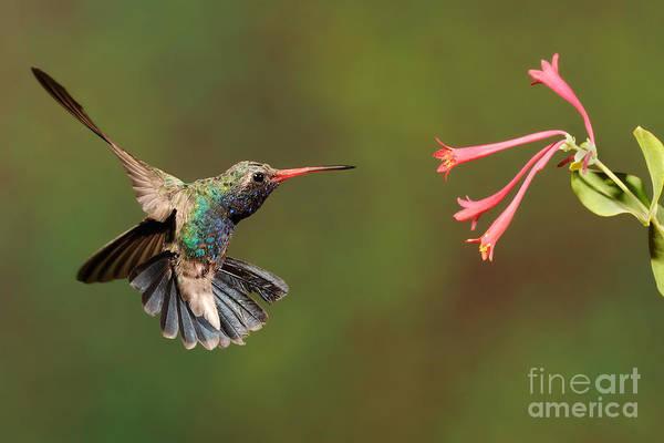 Birds Print featuring the photograph Broad Billed Hummingbird by Scott Linstead