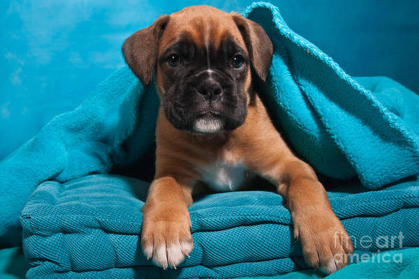 Boxer Print featuring the photograph little Boxer dog puppy by Doreen Zorn