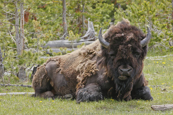 Buffalo Print featuring the photograph A Lot Of Bull by Charles Warren
