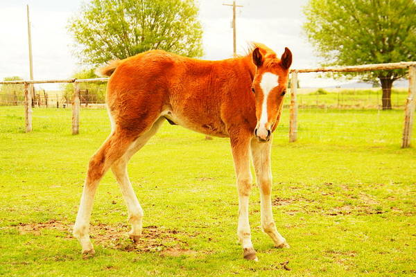 Four Legged Animals Print featuring the photograph A Young Foal by Jeff Swan