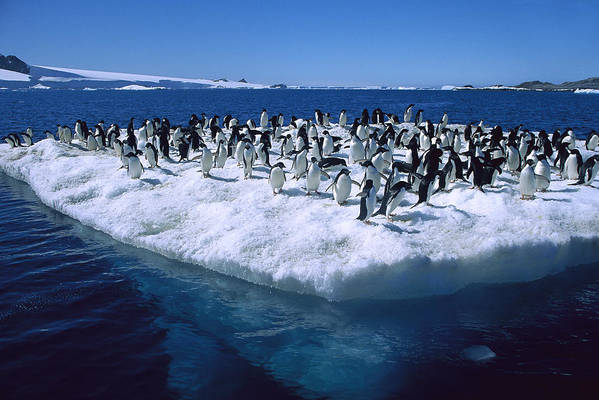 Feb0514 Print featuring the photograph Adelie Penguins On Icefloe Antarctica by Colin Monteath