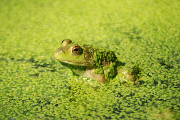 Green Algae Print featuring the photograph Algae Covered Frog by Optical Playground By MP Ray