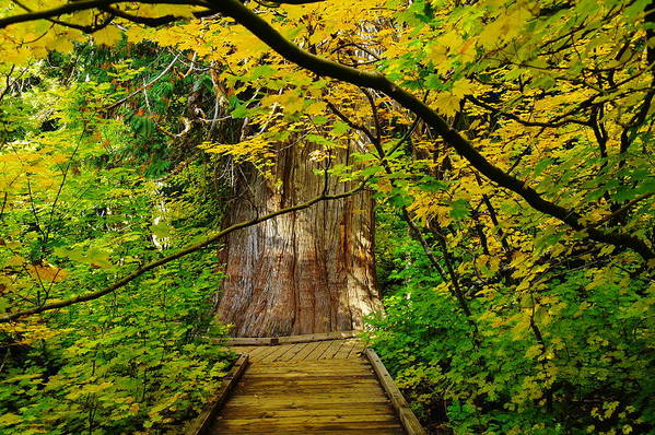 Trees Print featuring the photograph An Old Growth Douglass Fur In The Grove Of The Patriarches Mt Rainer National Park by Jeff Swan