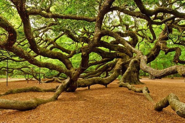 Nature Print featuring the photograph Angel Oak Tree Branches by Louis Dallara