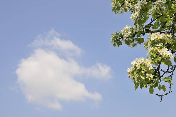Apple Blossom Print featuring the photograph Apple Blossom In Spring Blue Sky by Matthias Hauser