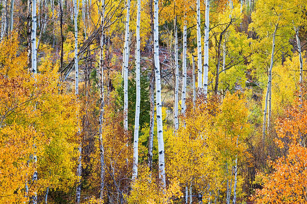 Autumn Print featuring the photograph Aspen Tree Magic by James BO Insogna