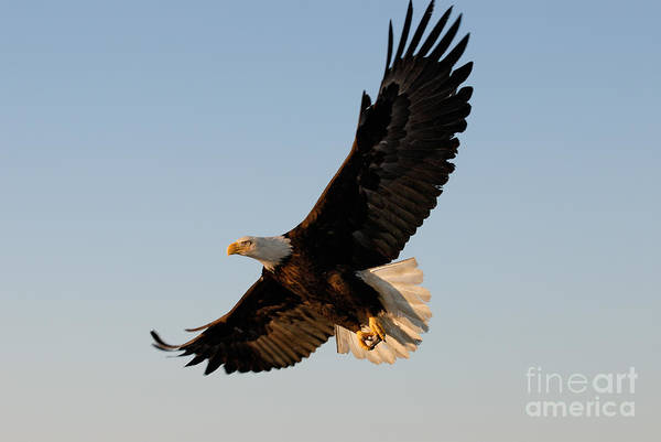 Animal Print featuring the photograph Bald Eagle Flying With Fish In Its Talons by Stephen J Krasemann