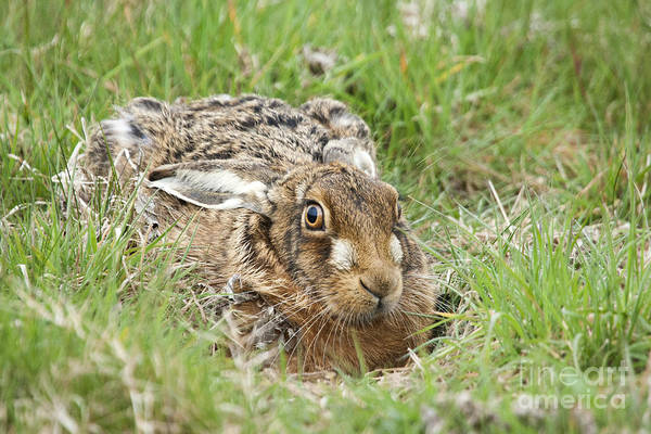 Essex. Aerodrome Print featuring the photograph Brown Hare by Philip Pound