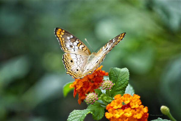Il Print featuring the photograph Butterfly Wings Of Sun 2 by Thomas Woolworth