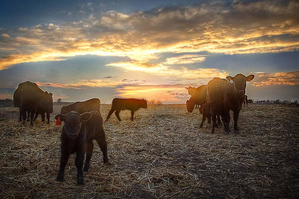Ranch Print featuring the photograph Cattle Sunset 2 by Thomas Zimmerman