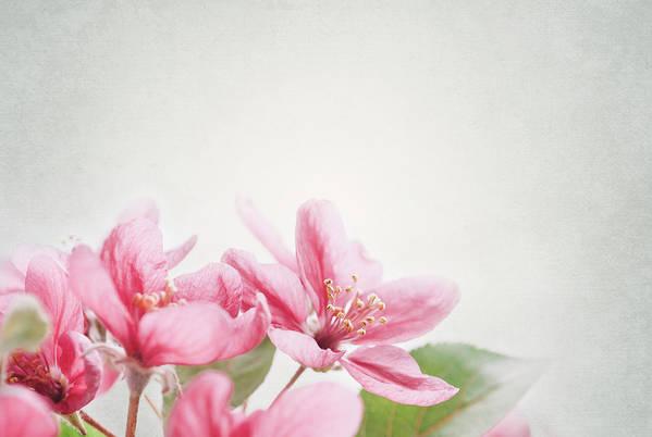 Cherry Print featuring the pyrography Cherry Blossom by Jelena Jovanovic