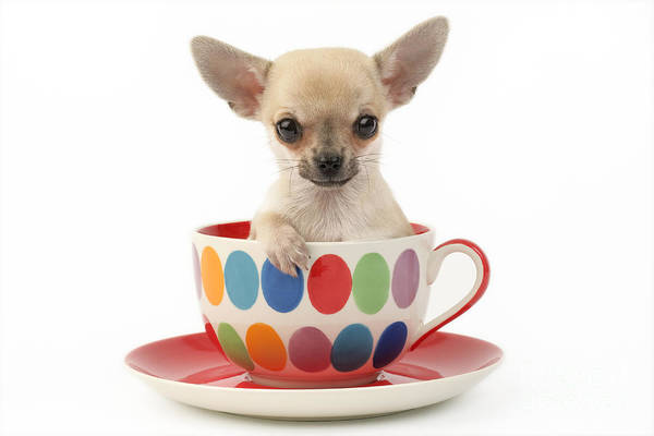 Chihuahua Print featuring the digital art Chihuahua In Cup Dp684 by Greg Cuddiford