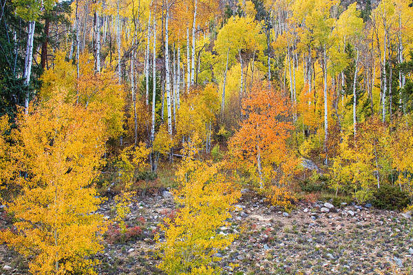 Autumn Print featuring the photograph Colorful Autumn Forest In The Canyon Of Cottonwood Pass by James BO Insogna