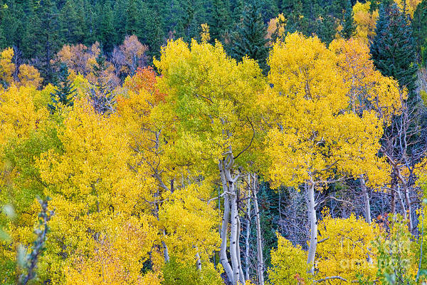 Autumn Print featuring the photograph Colorful Forest by James BO Insogna
