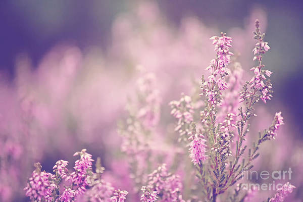 Pink Print featuring the photograph Dreamy Pink Heather by Natalie Kinnear