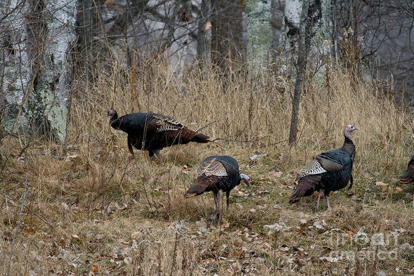 Meleagris Gallopavo Print featuring the photograph Eastern Wild Turkeys by Linda Freshwaters Arndt