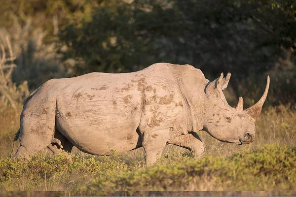 Adult Print featuring the photograph Female White Rhinoceros by Science Photo Library