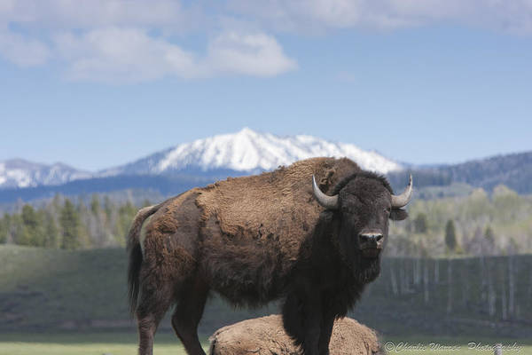 Bison Print featuring the photograph Grand Tetons Bison by Charles Warren