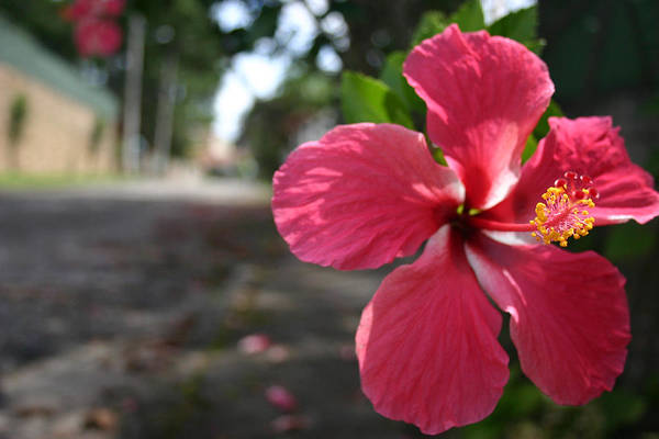 Hibiscus Print featuring the photograph Hibiscus by Frederico Borges