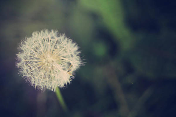Dandelions Print featuring the photograph In The Afterglow by Laurie Search