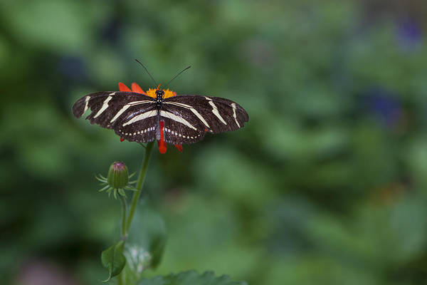 Butterfly Print featuring the photograph Kanapaha Butterfly I by Charles Warren