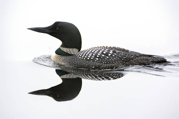 Loon Print featuring the photograph Loon #2 by Wade Aiken