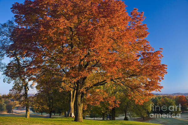 Autumn Print featuring the photograph Maple Trees by Brian Jannsen
