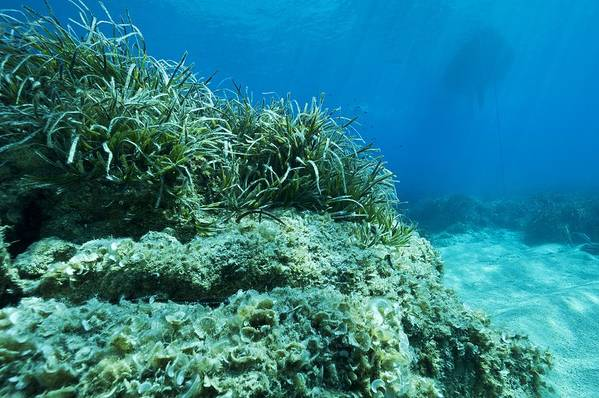 Alga Print featuring the photograph Marine Plants by Science Photo Library