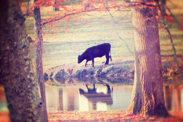 Black Cow Print featuring the photograph My Own Paradise by Amy Tyler