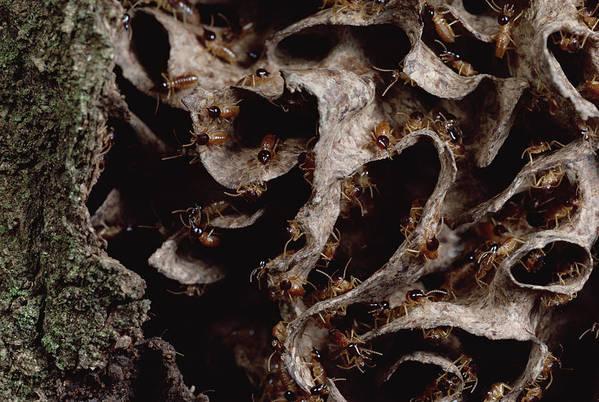 Feb0514 Print featuring the photograph Nasute Termite Nest Amazonian Peru by Mark Moffett