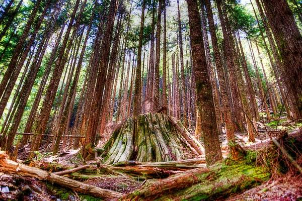 Tree Print featuring the photograph Northwest Old Growth by Spencer McDonald