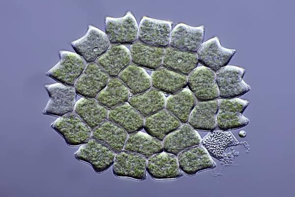 Algae Print featuring the photograph Pediastrum Green Algae, Micrograph by Science Photo Library