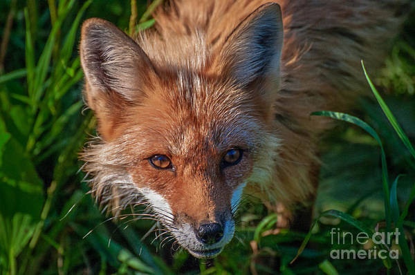 Fox Print featuring the photograph Red Fox by Bianca Nadeau