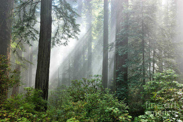 Redwood Trees Print featuring the photograph Redwood Forest With Sunbeams by Inga Spence