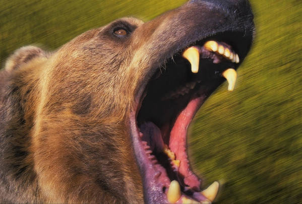 Carnivore Print featuring the photograph Roaring Grizzly Bears Face Rocky by Thomas Kitchin & Victoria Hurst