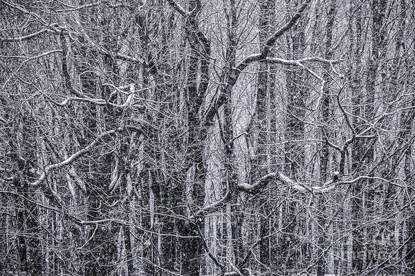 Snow Print featuring the photograph Snow In The Forest by Diane Diederich
