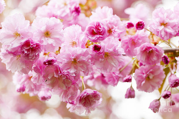 Cherry Print featuring the photograph Spring Cherry Blossoms by Elena Elisseeva
