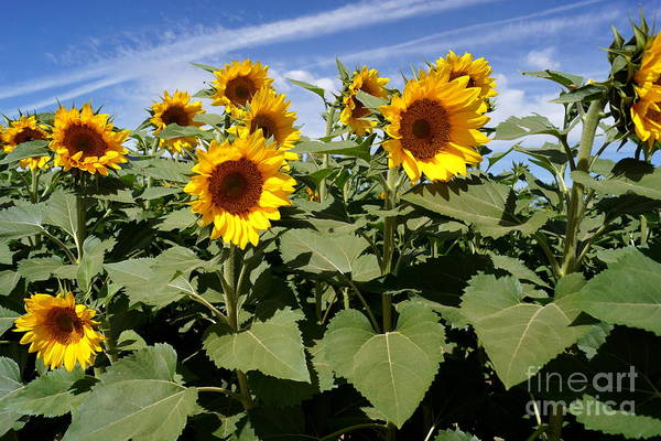 Agriculture Print featuring the photograph Sunflower Field by Kerri Mortenson