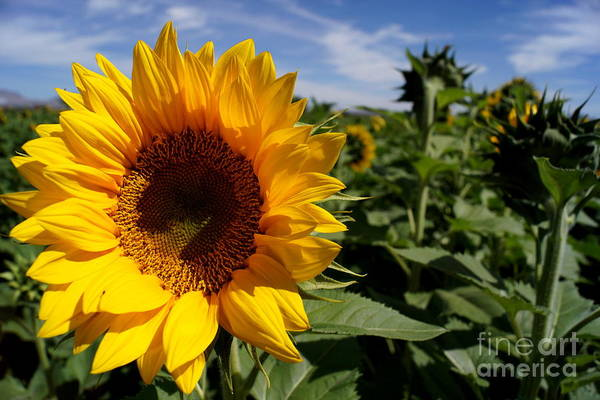 Agriculture Print featuring the photograph Sunflower Glow by Kerri Mortenson