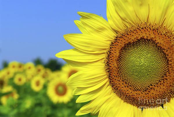 Sunflower Print featuring the photograph Sunflower In Sunflower Field by Elena Elisseeva