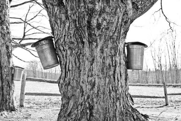 Angelic Maine Maple Syrup Maine Living Country Love Colors Gold Green Brown White Black Silver Metal Buckets Heavenly Hope Rockport Tap Tree Branch Liquid Money Maker In Maine Sky Holes Landscape Spring In Maine Fence Black And White Print featuring the photograph Sweet Living by Melanie Leo