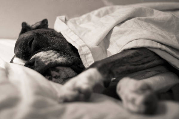 Boxer Print featuring the photograph Sweet Sleeping Boxer by Stephanie McDowell