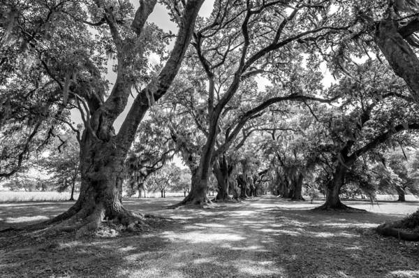 Evergreen Plantation Print featuring the photograph The Lane Bw by Steve Harrington