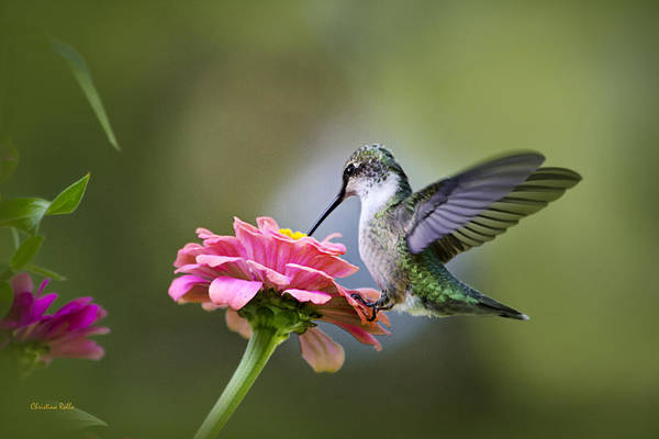 Hummingbird Print featuring the photograph Tranquil Joy by Christina Rollo