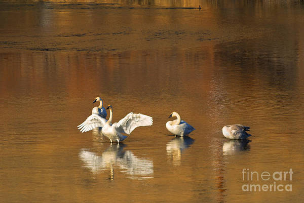 Swan Print featuring the photograph Trumpeter Ballet by Mike Dawson