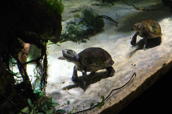 Inner Print featuring the photograph Turtle - National Aquarium In Baltimore Md - 121218 by DC Photographer