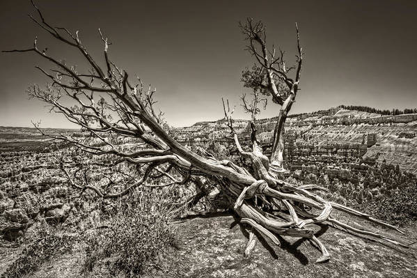 Bryce Canyon Print featuring the photograph Uprooted - Bryce Canyon Sepia by Tammy Wetzel
