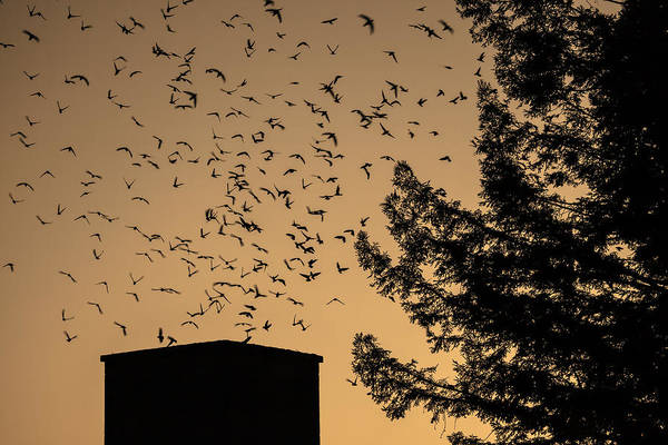 Vaux's Swifts In Migration Print featuring the photograph Vaux's Swifts In Migration by Garry Gay
