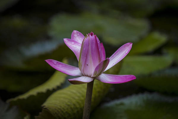 Water Lilly Print featuring the photograph Water Lillies8 by Charles Warren